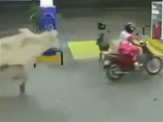 Đi xe máy màu đỏ, 2 cô gái bị bò đuổi muốn tuột quần