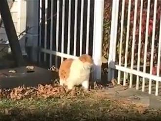 Clip hài hước: Quá béo, chú mèo chật vật chui qua kẽ hở hàng rào