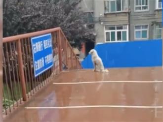 Bị chia cắt vì Covid-19, chú chó nghĩa tình vẫn kiên trì đứng đợi bạn trên cầu bất kể mưa nắng