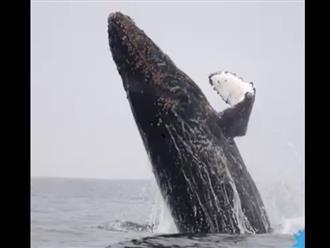 Cá voi nhảy múa không ngừng, cảnh tượng tuyệt vời từ thiên nhiên hiếm lắm mới thấy một lần