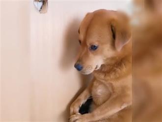 Cắn thủng cửa, chú chó bày khuôn mặt ấm ức khiến chủ muốn đánh cũng bó tay