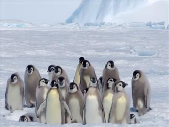 Chim lớn bị 'băng nhóm' chim cánh cụt đánh đuổi, nhìn cực căng nhưng dân mạng không nhịn được cười vì 'trùm cuối'