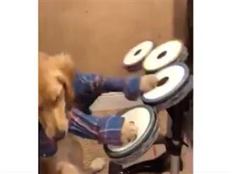 Chú chó bỗng nổi tiếng khắp mạng xã hội vì tài chơi trống điêu luyện nhưng sự thật đằng sau mới bất ngờ