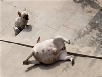 Chú chó lười biếng 'nằm ngửa' trượt cầu thang khiến dân tình chỉ muốn bế về nuôi