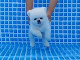 Chú chó sở hữu bộ lông trắng muốt kèm khuôn mặt khó đỡ khiến nhiều người lầm tưởng là gấu bắc cực tí hon