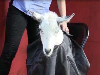 Chú dê ngoan ngoãn ngồi yên cho thợ cắt tóc, biểu cảm sau cùng khi soi gương mới gây chú ý nhất