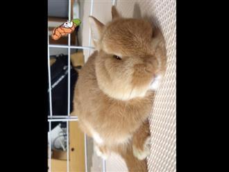 Chú thỏ mũm mĩm, nằm im thin thít chờ ăn khiến dân tình thích thú vì quá đáng yêu