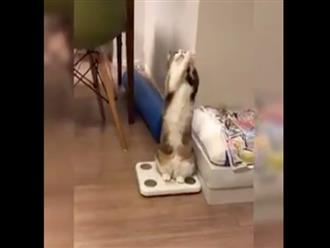 Clip chú mèo chắp 2 tay van xin thức ăn khiến dân tình thích thú vì quá đáng yêu