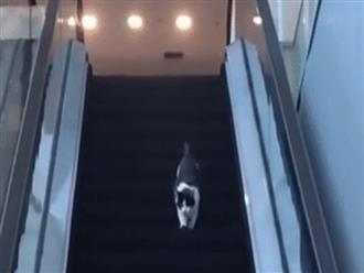 Clip mèo ngớ ngẩn chạy ngược thang cuốn khiến dân mạng xem hoài không chán, nhận 6 triệu view trong 1 ngày