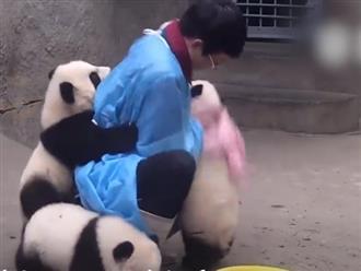 Cười ngất cảnh 3 chú gấu khôn như người đu bám đòi rửa mặt, bế như em bé