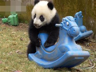 Cười ngất cảnh chú gấu ục ịch chơi bập bênh, hành động sau cùng mới đáng chú ý