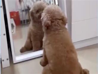 'Cười ngất' với biểu cảm hài hước của chú chó khi lần đầu thấy mình trong gương