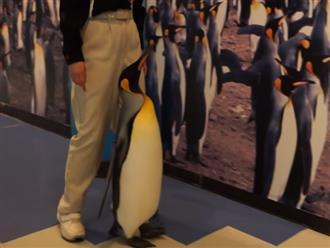 Cười ngất với cảnh chú chim cánh cụt 'nhiều chuyện' dừng lại 8 với hình đồng loại dán trên tường mãi không chịu đi