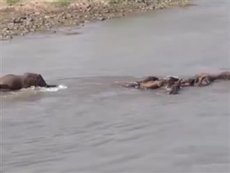 Đàn voi khiến cá sấu ngậm ngùi tiếc nuối vì không ăn được con nào