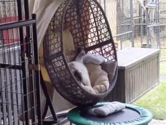 Mặc kệ nắng mưa, chú dê vẫn thản nhiên leo lên xích đu ngủ thẳng cẳng