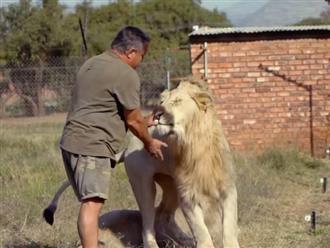 Người đàn ông hết vuốt ve lại đưa tay vào miệng sư tử khiến dân tình 'há hốc mồm'