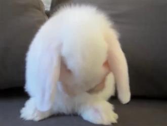 Rụng tim cảnh chú thỏ lông trắng như tuyết tự rửa mặt hệt em bé