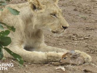 Sư tử ôm linh dương con, không ăn thịt mà có hành động bất ngờ khiến ai cũng há hốc