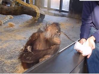 Thấy con người làm ảo thuật, chú khỉ ngoảnh mặt làm ngơ nhưng biểu cảm sau cùng mới hài hước