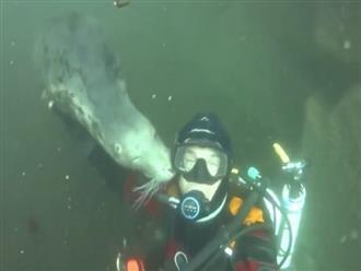 Thấy người bơi lại gần, hải cẩu chẳng những không bỏ chạy mà còn làm hành động lạ khiến thợ lặn cũng phải ngượng ngùng