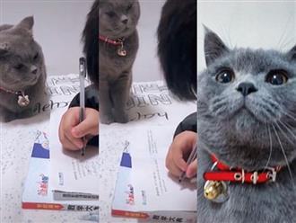 'Boss' mèo giám sát cậu chủ nhỏ học bài, không tập trung là bị lườm cháy mặt