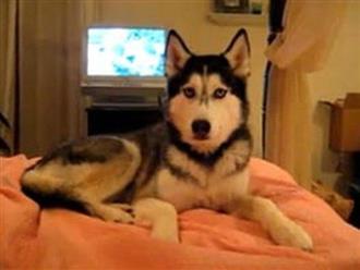 Chú chó gây bão mạng xã hội vì khả năng 'bắn' Tiếng Anh ầm ầm