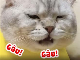 Chú mèo biết kêu 'gâu gâu', 'ẳng ẳng' như chó khiến dân mạng cười xỉu