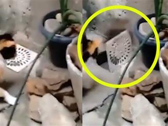 Chuột mở nắp cống thoát thân trước mặt mèo cực đỉnh khiến người xem té ngửa