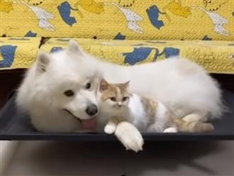 'Chuyện tình' cảm động của chú chó Samoyed và bé mèo béo ú