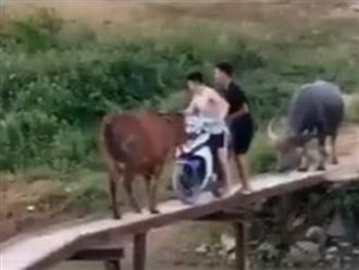 Đi xe máy lên cầu tạm, nam thanh niên đụng độ chú bò và cái kết bất ngờ