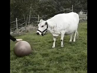 Thấy chủ đặt trái banh trước mặt, chú bò to tướng có hành động bất ngờ khiến ai nấy thích thú
