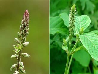 Bạn có biết: Cây cỏ xước trị bệnh gì không?