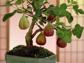 Cách trồng cây sung Mỹ đúng kĩ thuật, cực đơn giản mà cho quả đẹp,  thu hoạch mỏi tay