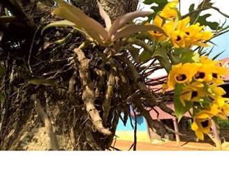 Cách trồng lan trầm vàng đơn giản mà ra hoa đẹp ngay tại nhà