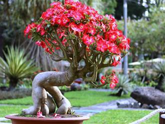 Cách trồng sứ Thái mau lớn, sai hoa và đúng kỹ thuật