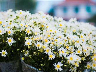 Hoa cúc họa mi có ý nghĩa gì trong tình yêu và cuộc sống?