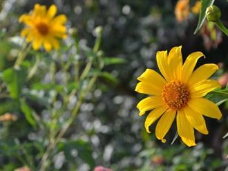 Hoa dã quỳ và tất tần tật những điều thú vị, có thể  bạn chưa biết