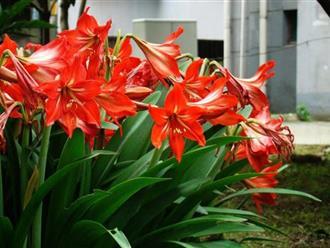 Hoa loa kèn - Vẻ đẹp của sự thuần khiết và trong sáng