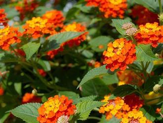 Hoa ngũ sắc –  Ý nghĩa, đặc  điểm và cách trồng từ A đến Z, có thể bạn chưa biết