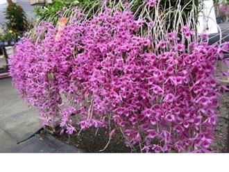 Hướng dẫn cách trồng lan Phi Điệp vào chậu đúng kỹ thuật và cho hoa đẹp