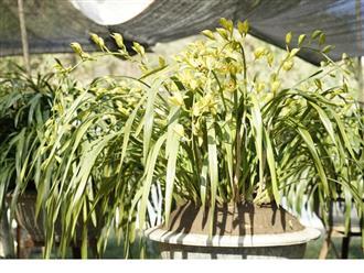 Hướng dẫn cách trồng và chăm sóc lan Trần Mộng ra hoa đẹp như ý