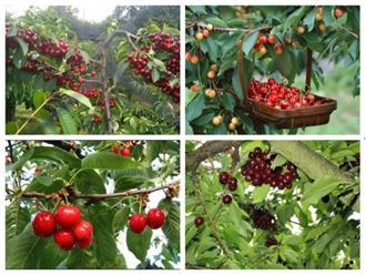 Hướng dẫn cách ươm hạt giống cherry ở Việt Nam giúp đạt năng suất cao