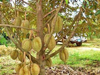 Hướng dẫn cách ươm mầm hạt sầu riêng thu hoạch quả sai cành
