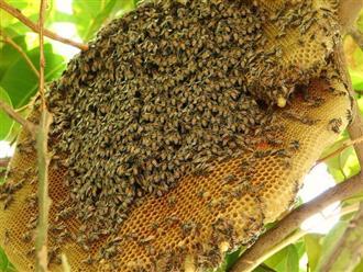 Mật ong rừng có tác dụng gì cho sức khỏe và làm đẹp?