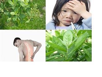 Những tác dụng của cây cúc tần cho sức khỏe và cách sử dụng hiệu quả nhất