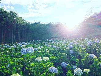 Ý nghĩa hoa cẩm tú cầu là gì? Khám  phá nét đặc biệt của loài hoa đa tầng nghĩa này