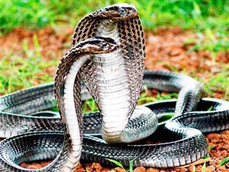 Mơ thấy 2 con rắn hổ mang là điềm lành hay dữ