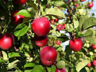 Công dụng của táo đỏ đối với sức khỏe con người