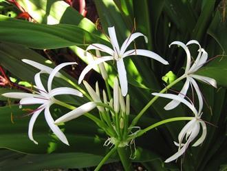 Cây náng hoa trắng có tác dụng gì - Cứu tinh của nam giới u xơ tiền liệt tuyến