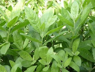 Tiết lộ bài thuốc quý từ tác dụng của cây cúc tần trong dân gian